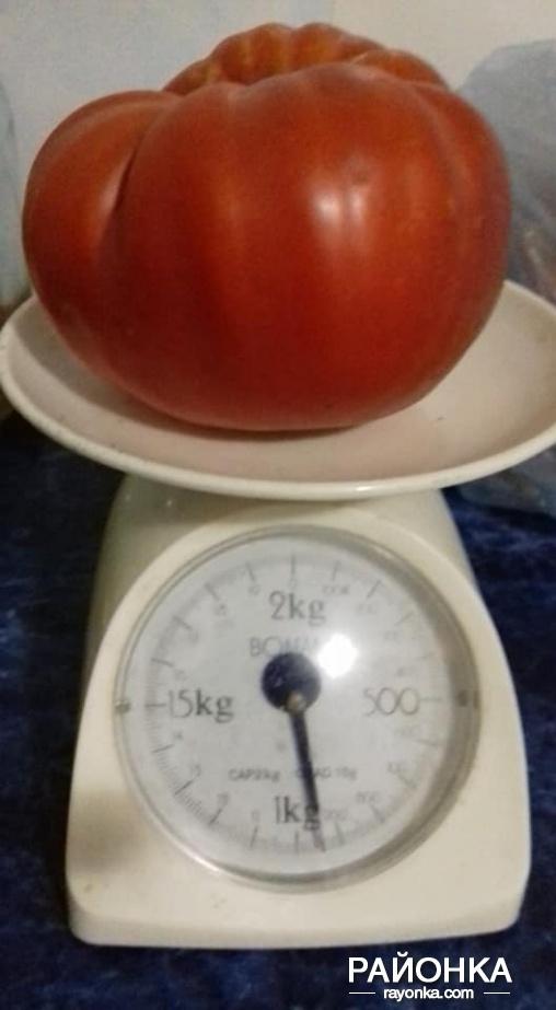 Уход, полив, душевный разговор - и вырастает гигантский помидор